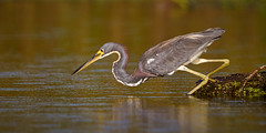 Intensity (Rendog64) Tags: tricoloredheron morning kayakphotography texas armandbayou birds horsepenbayou