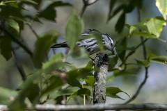 Yum! (The Transit Photographer) Tags: rideautrail trailhead marshlandsconservationarea birds fallmigration warblers blackandwhitewarblers breakfast yum