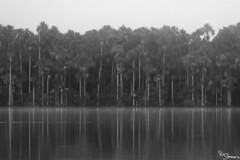 Sandoval lake (Kusi Seminario) Tags: blackandwhite blancoynegro bw arboles trees nature rainforest selva jungle madrededios tambopata sandoval lake lago outdoors canon eos 7dmarkii peru southamerica sudamerica amazonas amazon amazonia reflections reflejos