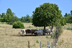 Aug 9 looking for some sahde (Basildon Kitchens) Tags: princeedwardcounty summer cows shade farm