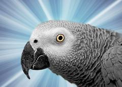 Parrot Portrait (imageClear) Tags: parrot arthur africangrey closeup macro eye head graphic fun sharp animal pet aperture nikon 105mm imageclear flickr photostream d500 picmonkey