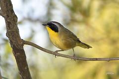 Common Yellowthroat (jt893x) Tags: 150600mm bird commonyellowthroat d500 geothlypistrichas jt893x male nikon nikond500 sigma sigma150600mmf563dgoshsms songbird warbler yellowthroat