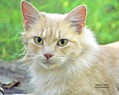 Pretty Cat (richardbmarlow) Tags: animal cat feline green eyes