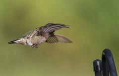 Landing Gear Down (Yer Photo Xpression) Tags: ronmayhew rubythroatedhummingbird bird nature canon tamron