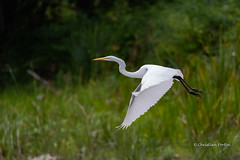 Grande Aigrette - Great Egret (fortinchristian) Tags: baiemissisquoi veniseenquébec pikeriver greategret grandeaigrette rivièreauxbrochets