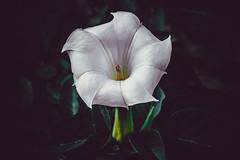 Devil's Trumpet, Datura Flower Photograph (Love-fi) Tags: datura flower flowers photography beautiful nature canada fujifilm xt3 moody dark beauty