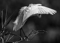 Shy Little Egret (Egretta garzetta), B&W, Azraq Wetland Reserve, Jordan (MikeM_1201) Tags: littleegret bird animal wildlife nature azraqwetlandreserve jordan d500 branch preening shy bw monochrome wing