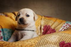 Labrador Puppy III (patrick_illhardt) Tags: labrador puppy hund welpe hundefotografie hundewelpe animal animalphotography pet petphotography