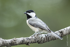 Carolina Chickadee (karenmelody) Tags: usa bird birds animal animals austin texas carolinachickadee vertebrate vertebrates poecilecarolinensis centraltexas passeriformes traviscounty paridae passerine passerines perchingbirds myneighborhoodinaustin