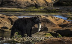 Vancouver Island Black Bear - Ursus americanus vancouveri (Freshairphotography by Janis Morrison) Tags: bears vancouverisland blackbear northernvancouverisland vancouverislandnature wildlifeofvancouverisland wildlife wildanimals vancouverislandblackbear ursusamericanusvancouveri porthardy
