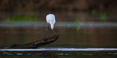 Got It! (Rendog64) Tags: morning texas greategret water birds kayakphotography armandbayou splash smallfish