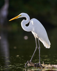 Catching Some Rays (Rendog64) Tags: morning birds kayakphotography texas armandbayou greategret horsepenbayou