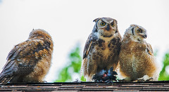 Great horned owls clamouring for a meal (Christy Turner Photography) Tags: owls raptor owl alberta birds birdsofprey