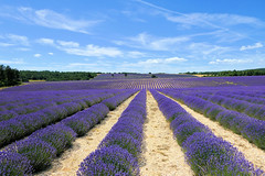 P1140933 (alainazer) Tags: revestdubion provence france fiori fleurs flowers fields champs ciel cielo sky colori colors couleurs lavande lavanda lavender