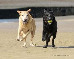 Chase me, chase me! (© Freddie) Tags: sussex eastsussex cambersands dog dogs labrador labradors labradorretriever yellowlabrador fieldlabrador blacklabrador alfie barnie fjroll ©freddie synchronized synchronised