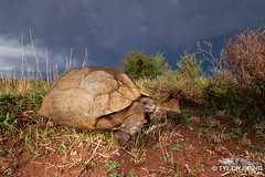 Stigmochelys pardalis - Leopard Tortoise. (ping.tyrone) Tags: stigmochelys pardalis leopard tortoise tortoises wild life nature natural cute amazing huge storm cloud plants herping hrps reptiles south africa southern eastern cape canon 7d wide andle land scape wwwtyronepingcoza tyrone ping herps