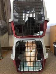 Visible Cats (sjrankin) Tags: 13september2019 edited animal cat bonkers norio closeup carrier cage floor livingroom catcarrier catcage kitahiroshima hokkaido japan