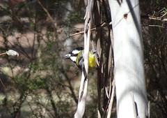 Crested Shrike-Tit (RJNumbat) Tags: crested shriketit
