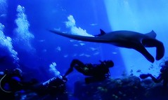 Underwater Experience (janetfo747 ~ Dreaming of Africa) Tags: georgia aquarium snorkel dive scuba whaleshark shark turtlestingray groper jellyfish fish huge watertank blue bubbles walkthroughtunnel shows intriguing interesting