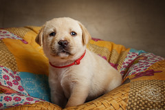 Labrador Puppy II (patrick_illhardt) Tags: labrador puppy hund welpe hundefotografie hundewelpe animal animalphotography pet petphotography
