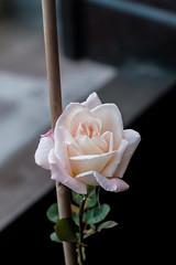 Autumn Bloom (sindit) Tags: newdawn rosak cz zeiss sonnar 90mm contaxg xe3 fuji fujifilm horticulture rooftopterrace rose roses flower bloom perennials g90 bokeh 3dpop stilllife beauty nature