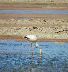 Life bird:  Andean Flamingo (Ruby 2417) Tags: andean flamingo shorebird bird wildlife nature atacama chile salt flats salar wetlands marsh mud desert life lifer rare rarity