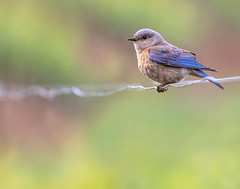 Bluebird on a Wire (dshoning) Tags: fencefriday bluebird wire fence oregon