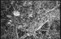 view from inside a thicket, branches, queen anne's lace, Spruce Head, Maine, Ercona II 105mm f/3.5, Kodak TMAX 400, HC-110 developer, August 2019 (steve aimone) Tags: thicket branches queenanneslace sprucehead maine erconaii erconaii105mmf35 kodaktmax400 hc110developer folder 6x9 mediumformat monochrome monochromatic blackandwhite 120 120film film