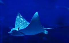 the StingRay (janetfo747 ~ Dreaming of Africa) Tags: georgia aquarium snorkel dive scuba whaleshark shark turtlestingray groper jellyfish fish huge watertank blue bubbles walkthroughtunnel shows intriguing interesting