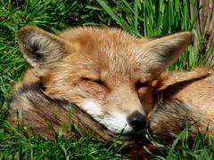 Schöne Träume ! / Sweet dreams ! (ursula.valtiner) Tags: tier animal fuchs fox wildpark wildlifepark derwildeberg mautern steiermark styria austria autriche österreich