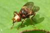 Sicus ferrugineus (A_Decostre) Tags: sicus ferrugineus diptera