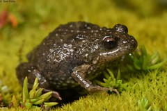 Sloanes froglet (Tom Frisby) Tags: frog amphibian amphibians wildlife australia fauna