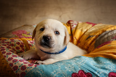 Labrador Puppy IV (patrick_illhardt) Tags: labrador puppy hund welpe hundefotografie hundewelpe animal animalphotography pet petphotography