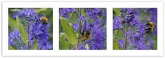 clinging on (quietpurplehaze07) Tags: lookingcloseonfriday bee orange caryopteris blue flower triptych combinacióndeflorayfauna