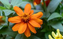 Orange & Yellow Tithonia (Mexican Sunflower) Sidewalk Flowers 2 of 2 (Orbmiser) Tags: nikonafpdx70300mmf4563gedvr d500 nikon oregon portland flower flowers