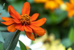 Orange & Yellow Tithonia (Mexican Sunflower) Sidewalk Flowers 1 of 2 (Orbmiser) Tags: nikonafpdx70300mmf4563gedvr d500 nikon oregon portland flower flowers