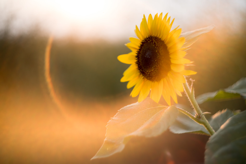The World S Best Photos Of Sonnenblume And Sunflower