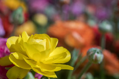 Yellow Spring (OzzRod) Tags: pentax k1 smctakumar55mmf18 extensiontube macro colour riot plant flower bokeh dailyinseptember2019 gregsonpark newcastle