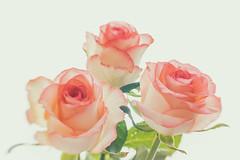 Drei Rosen (Panasonikon) Tags: panasonikon sonya7 lensbaby sweet35 rose highkey schärfentiefe flower fineart