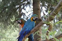 Papegaaien, Eifel Zoo, Duitsland. (miesvanberkum) Tags: bird deeifel duitsland canon canoneos7d parrots