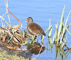 Moorhen (MJ Harbey) Tags: moorhen marshhens waterfowl aves bird gruiformes rallidae fulicachloropus gallinula willenlake miltonkeynes buckinghamshire nikon d3300 nikond3300