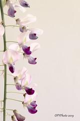 Wisteria floribunda (OPYPhoto) Tags: wisteria raceme whitebackground purple purpleflower highkey