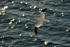 (Northern) Gannet (steve whiteley) Tags: bird birdphotography wildlife wildlifephotography nature gannet bempton water seabird birdinflight morusbassanus