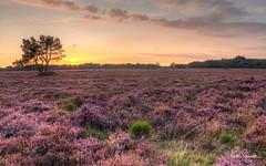 HDR Zuiderheide4 (frits29) Tags: dutchlandscape landscape heide zuiderheide heather sunset zonsondergang