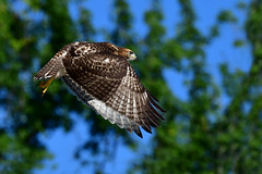 RTHJuvie1 (2)Small (Rich Mayer Photography) Tags: red tail tails tailed hawk hawks avian wild life wildlife animal animals fly flying flight nikon