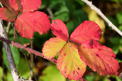 Couleurs d'automne (Croc'odile67) Tags: nikon d3300 sigma contemporary 18200dcoshsmc feuillage feuilles automne autumn nature