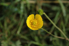 A cup full of sunshine (worldthroughalens74) Tags: buttercup wildflower yellow sunshine uk england nature staffs outdoors canon sigma flowers