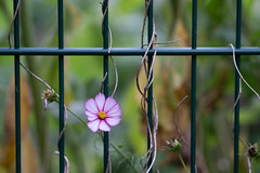 September Fence Friday (jillyspoon) Tags: fence fencefriday hff happyfencefriday fenced flower greenfence pinkflower pink entwined growing encroaching sony sonya7iii sony85mm 85mmprime 85m 85mm harrogate dof depthoffield grid