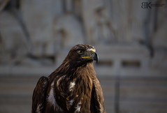 Gellért hegyi solyom (kishontiartwork) Tags: danube budapest hungary capital canon canon80d canonllens canon70200 bird focus concentration nature green white proud gelert hill