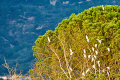 Cattle egrets relaxing (paoloaddesso) Tags: none